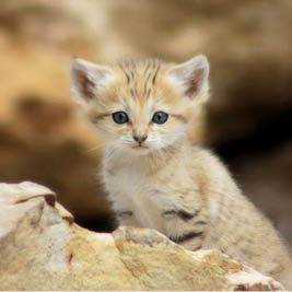 sand cat, argos tracking beacon, argos PTT, syrlinks wildlife