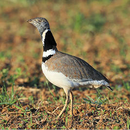 houbara bustard, argos tracking beacon, argos ptt, geolocation wildlife