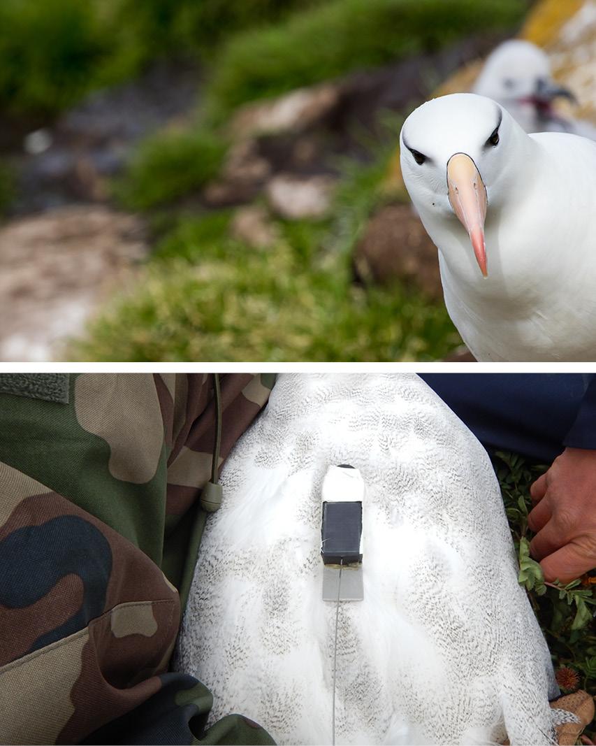 Albatross tracking, Albatross Argos PTT, Argos PTT, Argos bird beacon