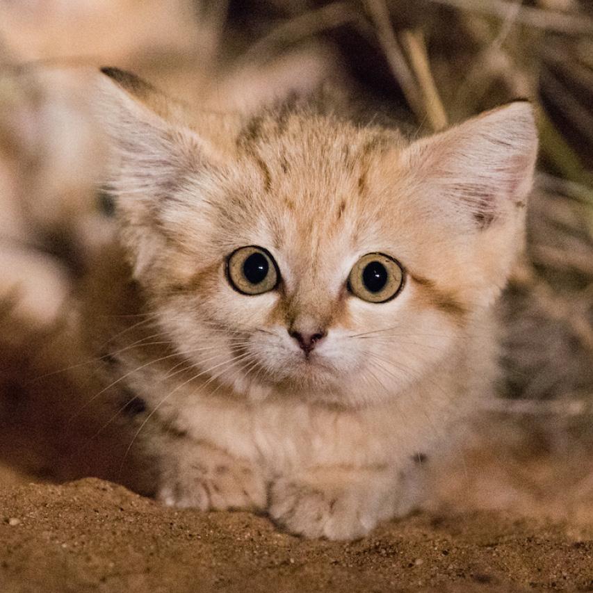 sand cat tracking experience, argos PTT, wildlife tracking collar