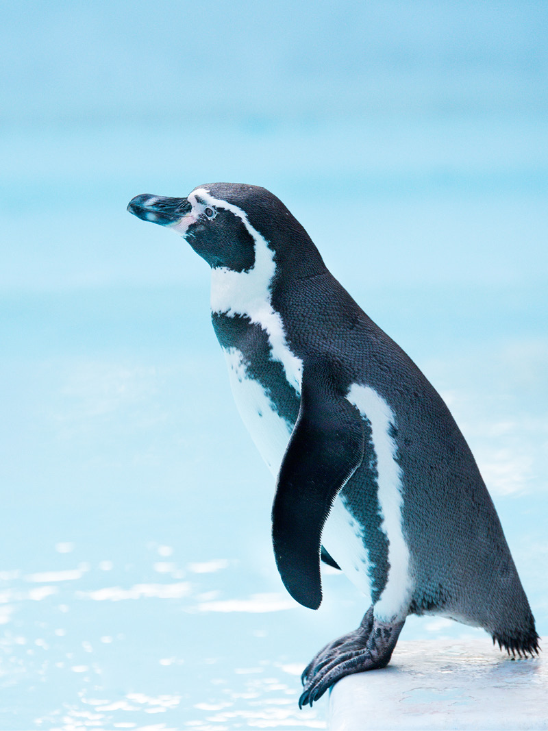 penguin, Argos PTT, marine mammal monitoring, wildlife monitoring