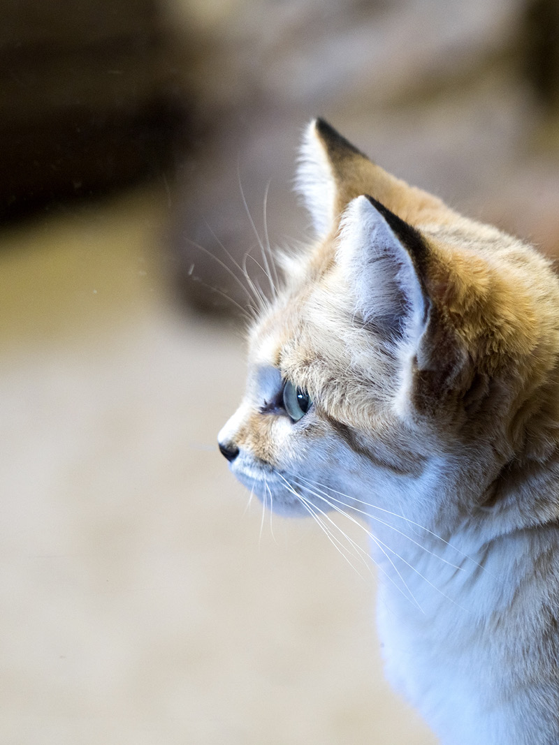 Sand cat, argos PTT, wildlife monitoring, argos tracking beacon, syrlinks wildlife